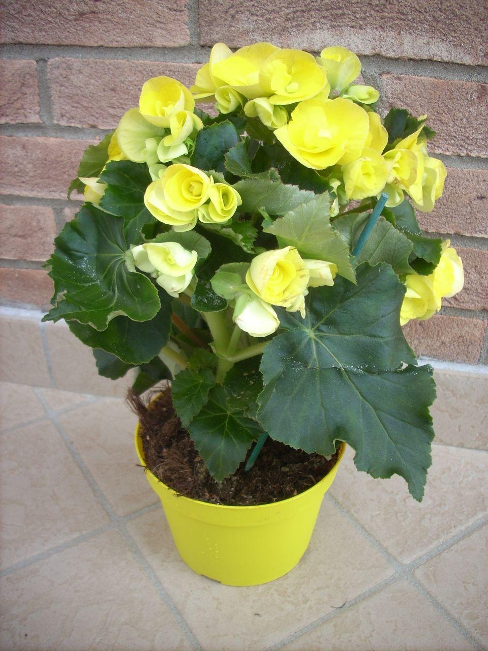 Piante Da Appartamento Ambiente Buio begonie vanno tenute nei vasi e' una pianta sia da esterno